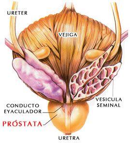 2-ac2a9-desconocido-vista-posterior-prostata