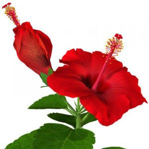 hibiscusa-jpg1b5a3e5a-6dc8-43f0-bd7d-f4adf361bd9flarge