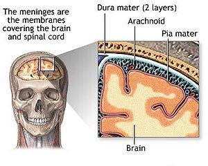 300px-meninges_diagram