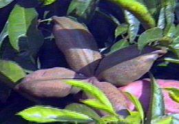 frutocola