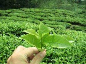te-verde-beneficios-y-propiedades