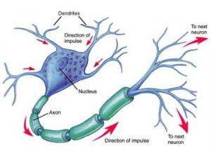 20060919-neurona-biologica