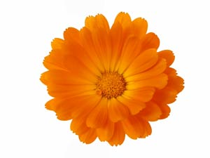 calendula_flower