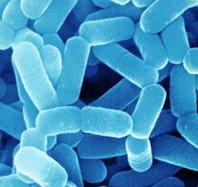 lactobacillus-casei-shirota7
