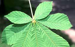 aesculus-hippocastanum-hoja1