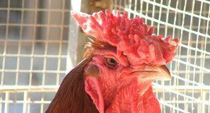 gallo_cresta1