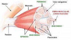 musculo-esqueletico-estriado