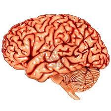 cerebrio