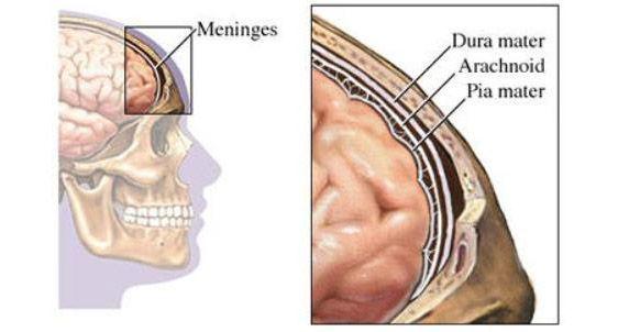 meninges3