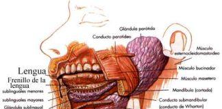 Accion-digestiva-de-la-saliva