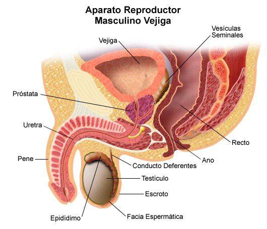 prostata-anatomia