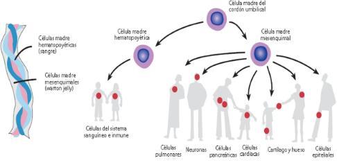 celulas-cordon-umbilical