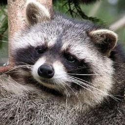 Un-virus-en-los-mapaches-ofrece-pistas-sobre-cancer