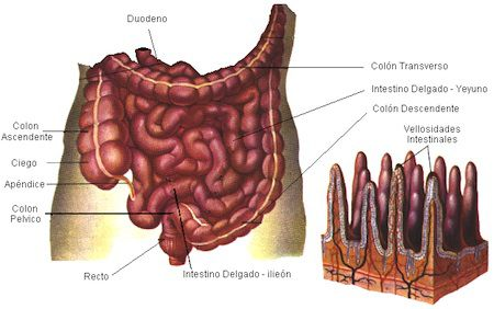 mucosaintestinal