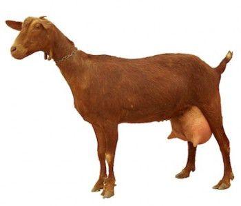 Beneficios-para-la-salud-de-la-leche-de-cabra