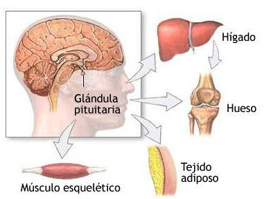Consejos-para-estimular-la-hormona-del-crecimiento-en-el-cuerpo