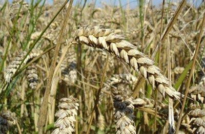 Espelta-un-cereal-muy-saludable