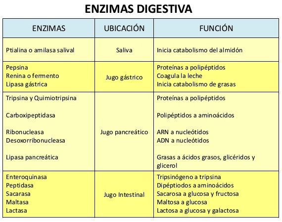 enzimasdigestivas1