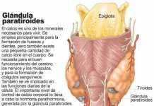 glandula-paratiroides