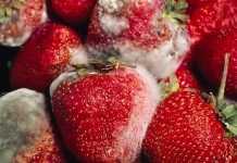 moho-fruta