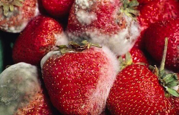 El moho en los alimentos y riesgo para la salud blog de - El moho es un hongo ...