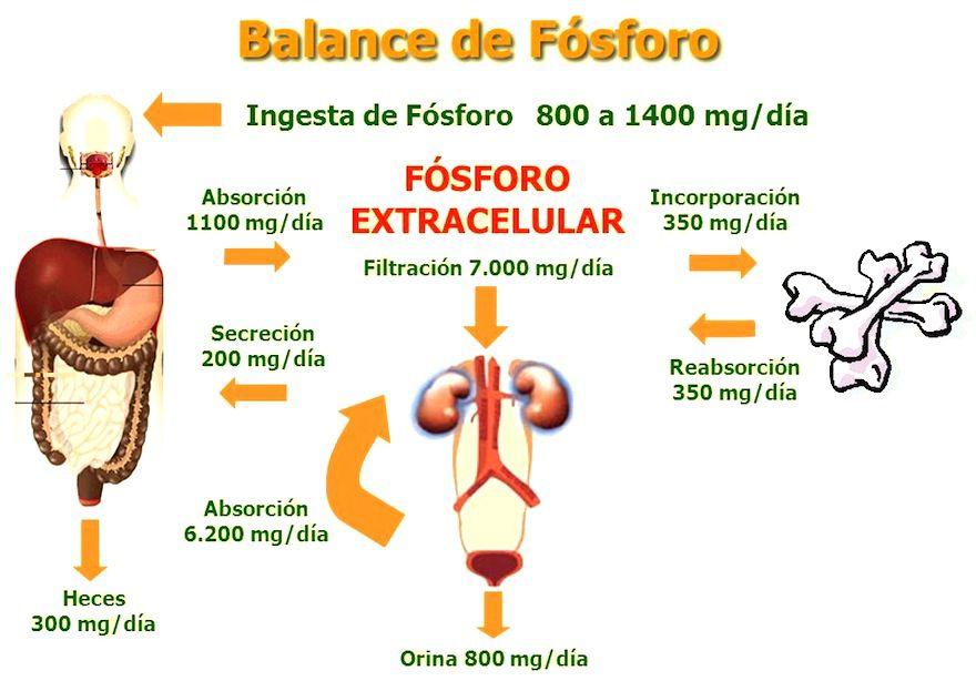 fosoforo metabolismo