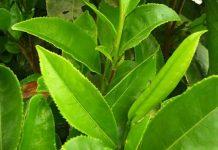 El-té-verde-podría-ayudar-a-combatir-el-cáncer-de-próstata