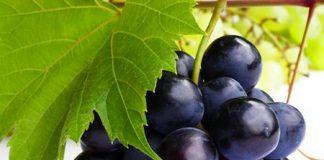 Extracto-de-uva-contra-la-enfermedad-renal