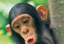 chimpance-genoma